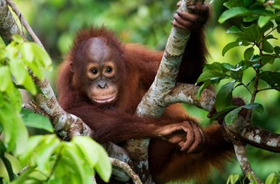 Zájezdy Indonésie, Sumatra Orangutani
